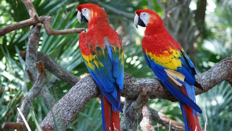 Amazon Jungle Macaws